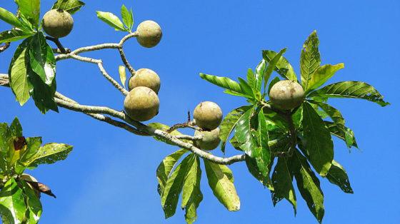 jagua fruit